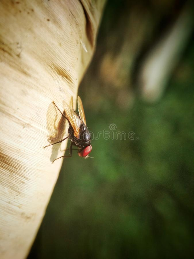 THE RED-EYED FLIES. Red-eyed flies on dry leaves stock photos