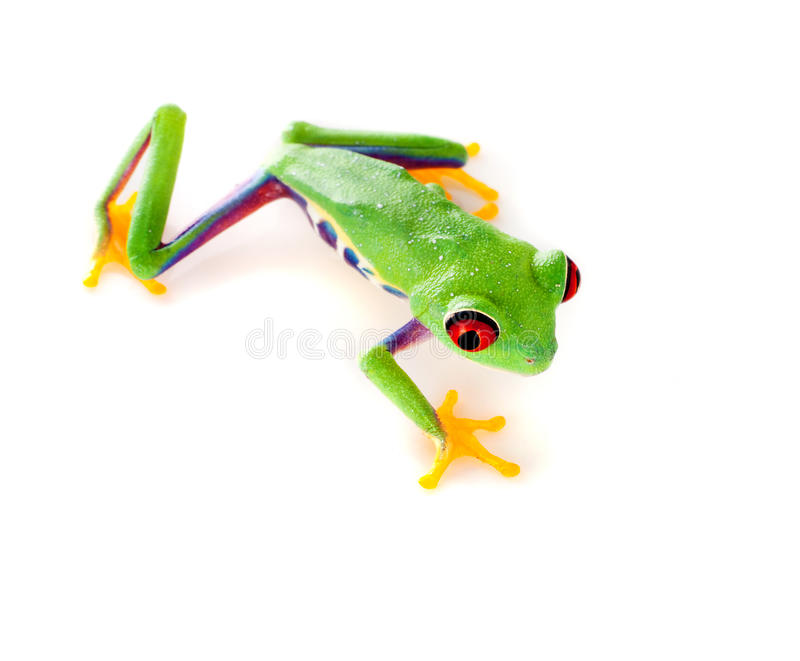 Red eyed frog climbing. Red eyed tree frog isolated on white stock images