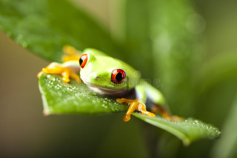 Red eyed frog green tree. Exotic frog on colorful background stock image