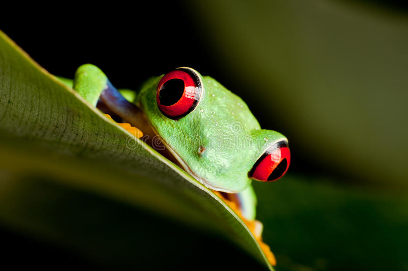 Red eyed frog on a leaf. Red eyed tree frog on banana leaf royalty free stock photo