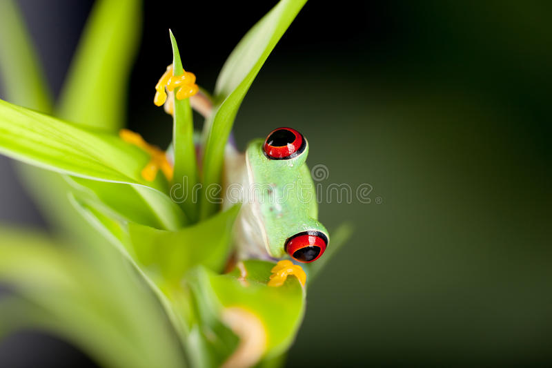 Red eyed frog in nature. Red eyed tree frog on bamboo branch royalty free stock images