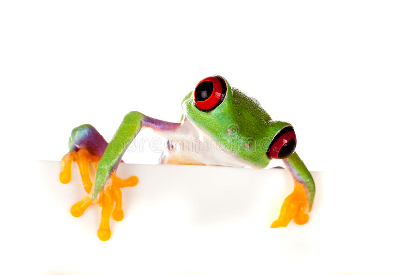 Red eyed frog peeping. Young red eyed tree frog isolated on a white page stock photos