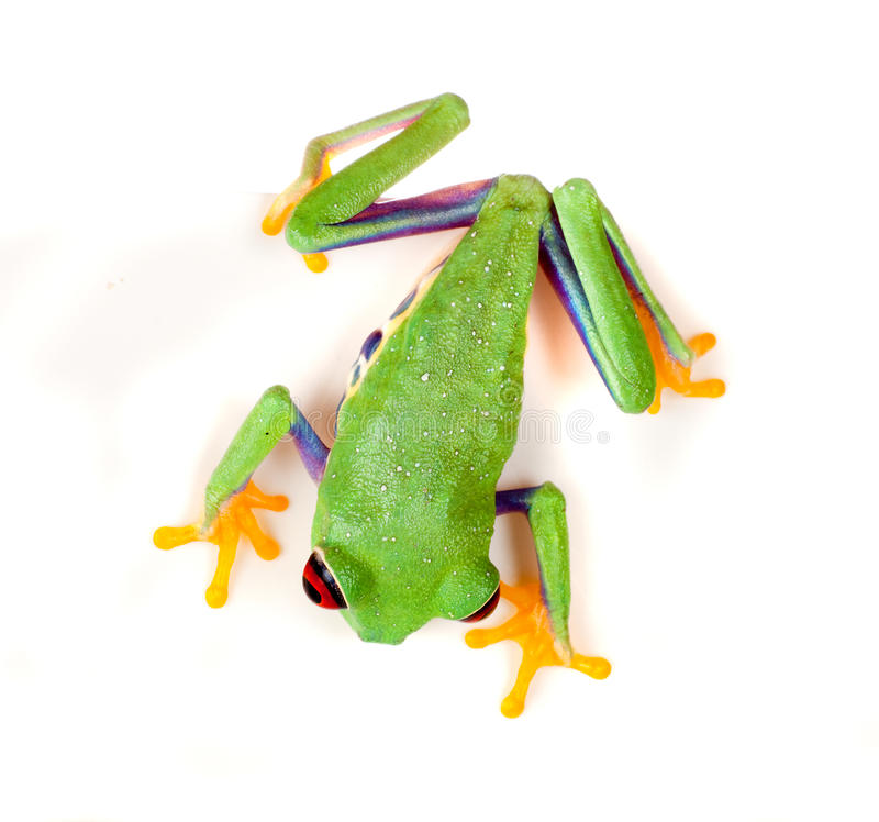 Red eyed frog on white. Red eyed tree frog isolated on white stock photography