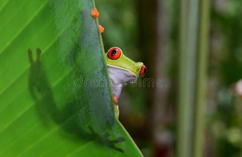 Red eyed green tree frog, corcovado, costa rica. Red eyed tree frog commonly called green tree frog on leaf showing silhouette and striking red eyes and orange stock image