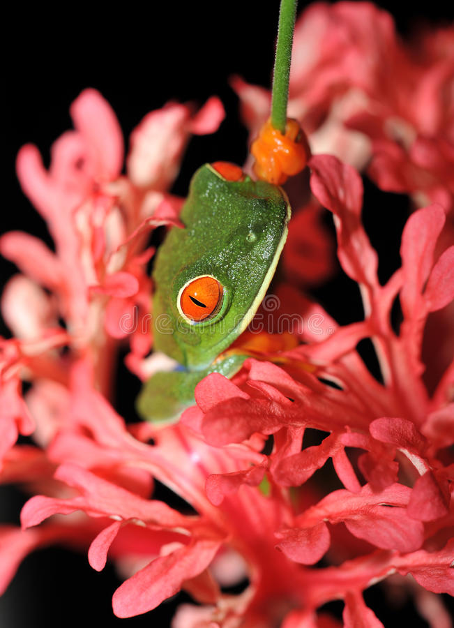 Red eyed green tree frog pink flower, costa rica royalty free stock images