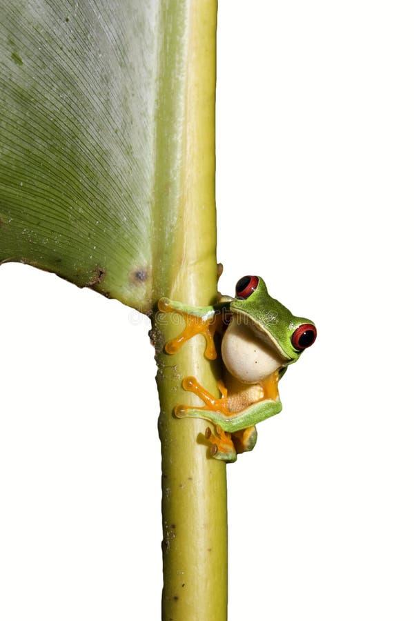 Red-eyed Leaf Frog IXb. Red-eyed Leaf Frog (tree frog) isolated on white background royalty free stock images