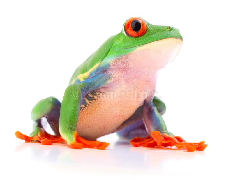 Red eyed monkey tree frog, Agalychnis callydrias stock images