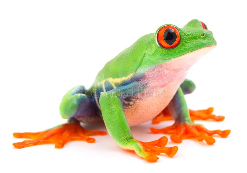 Red eyed monkey tree frog tropical animal from the rain forest in Costa Rica stock image
