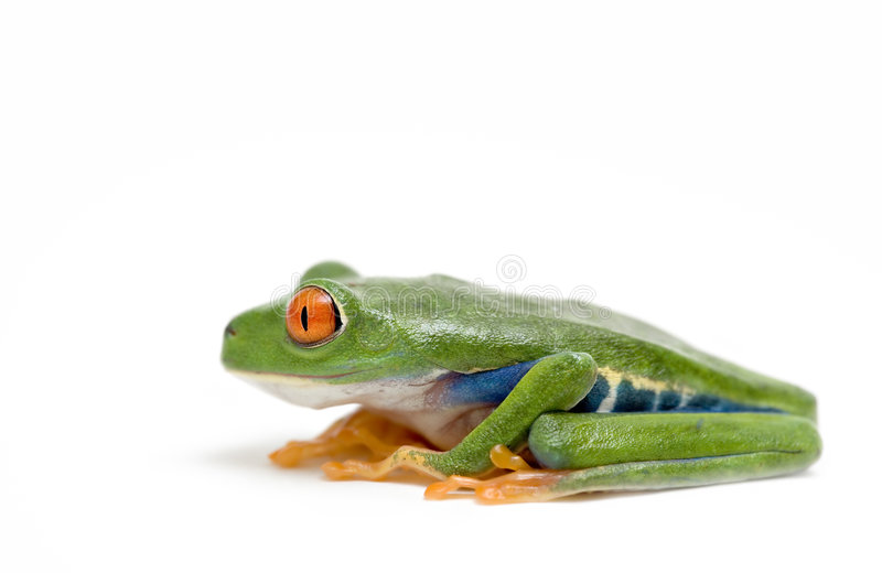 Red eyed tree frog. Isolated on white royalty free stock photo