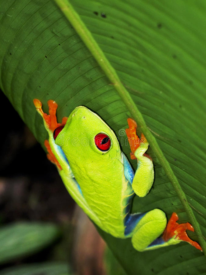 Red-eyed Tree Frog. Red-Eyed Tree Leaf Frog on climbing banana leaf Costa Rica stock photos