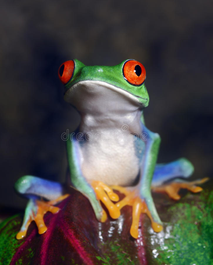 Red-Eyed Tree Frog royalty free stock photos