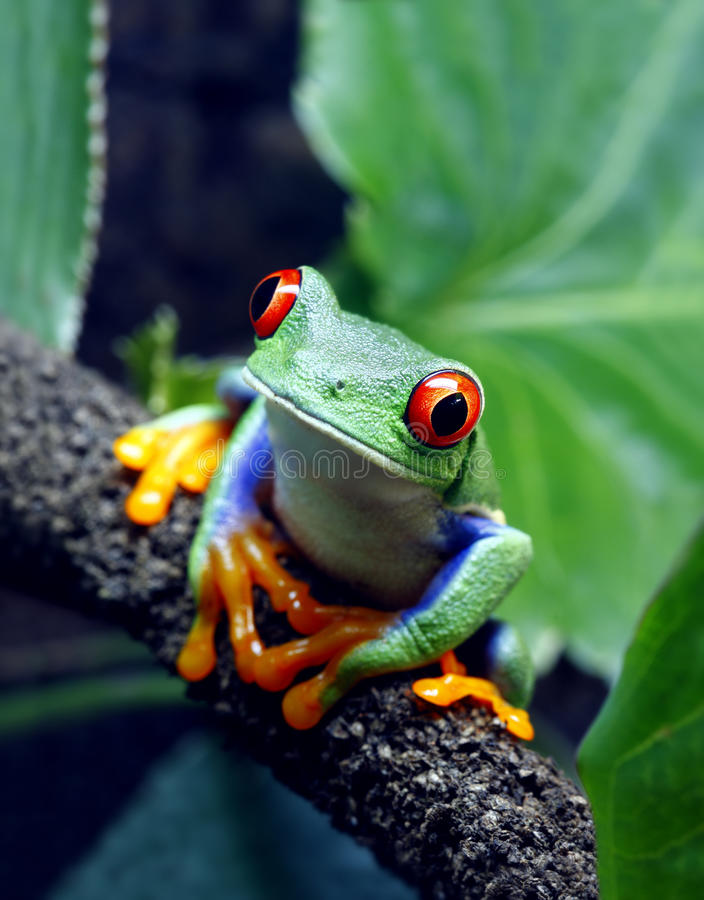 Red-Eyed Tree Frog. A Red-Eyed Tree Frog (Agalychnis callidryas) sitting along a vine in its tropical setting stock photography