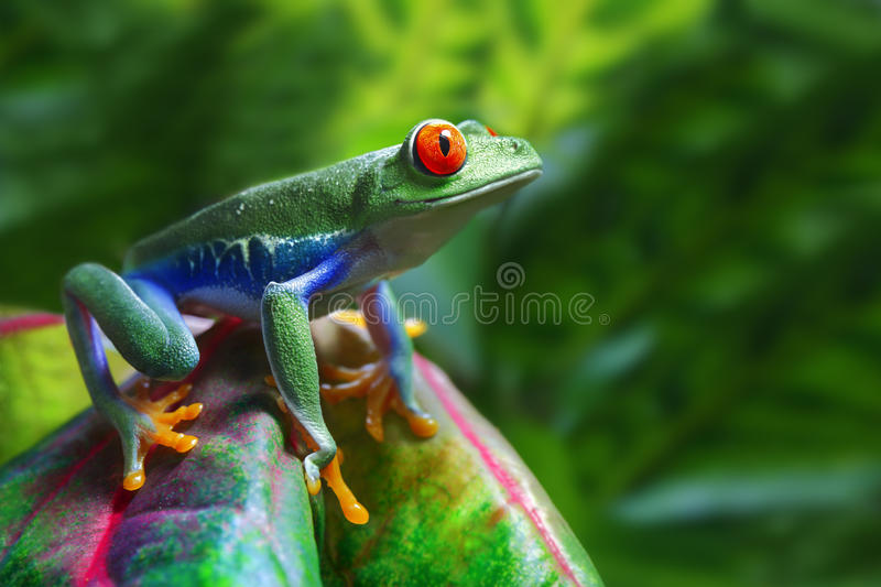 Red-Eyed Tree Frog. A colorful Red-Eyed Tree Frog (Agalychnis callidryas) in its tropical setting stock images