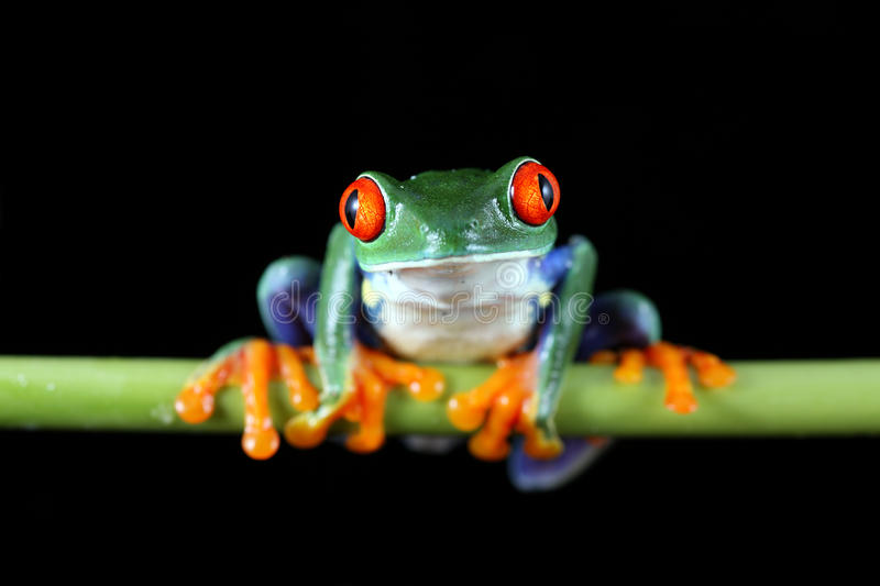 Red-Eyed Tree Frog. A macro shot of a Red-Eyed Tree Frog (Agalychnis callidryas) sitting along a vine against a solid black background royalty free stock photo