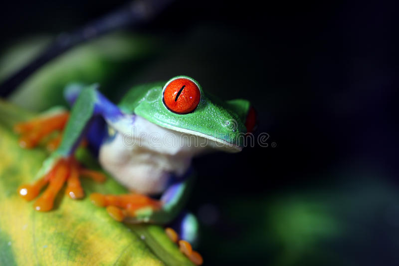 Red Eyed Tree Frog. A Red-Eyed Tree Frog (Agalychnis callidryas) in its natural environment stock image