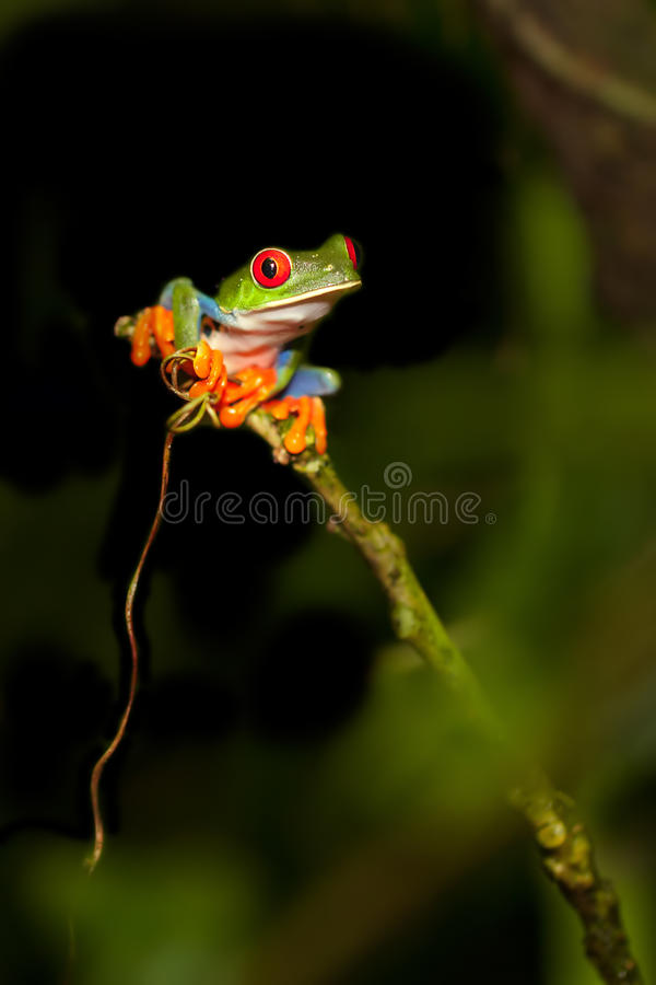 Red-eyed Tree frog. Shot in Costa Rica royalty free stock photo