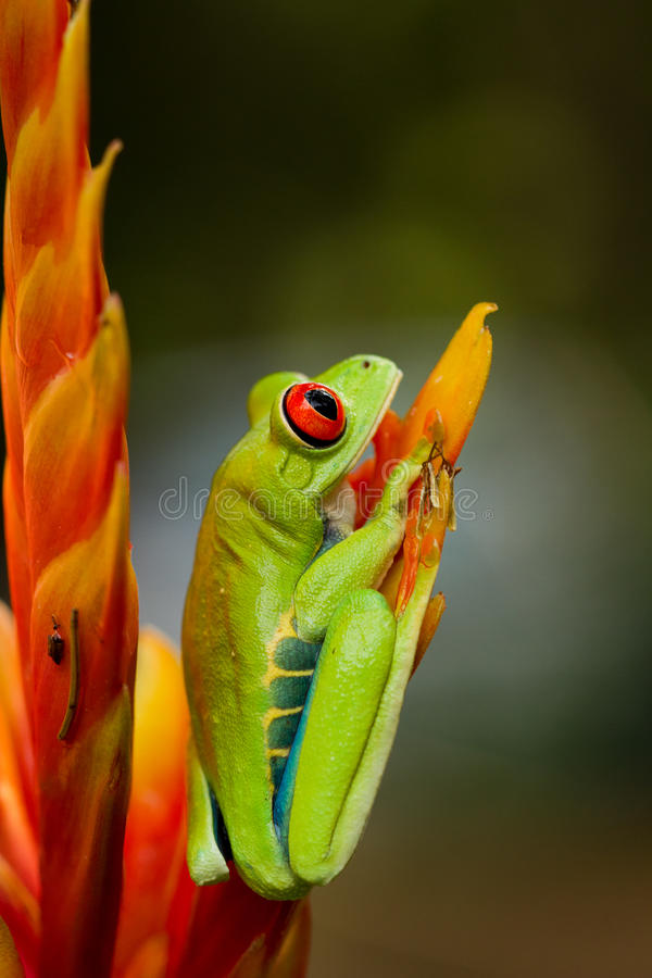 Free Red Eyed Tree Frog Royalty Free Stock Image - 20797936