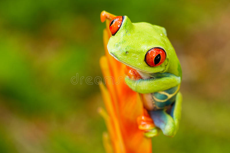 Red eyed tree frog. Sitting on the flower stock images