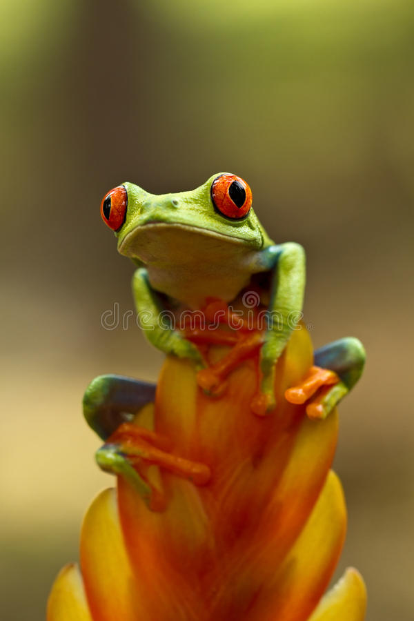 Red eyed tree frog. Sitting on the flower royalty free stock photography