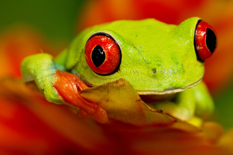 Red eyed tree frog. Sitting on the flower stock image