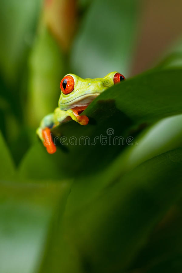 Red eyed tree frog. Sitting on the flower royalty free stock photos
