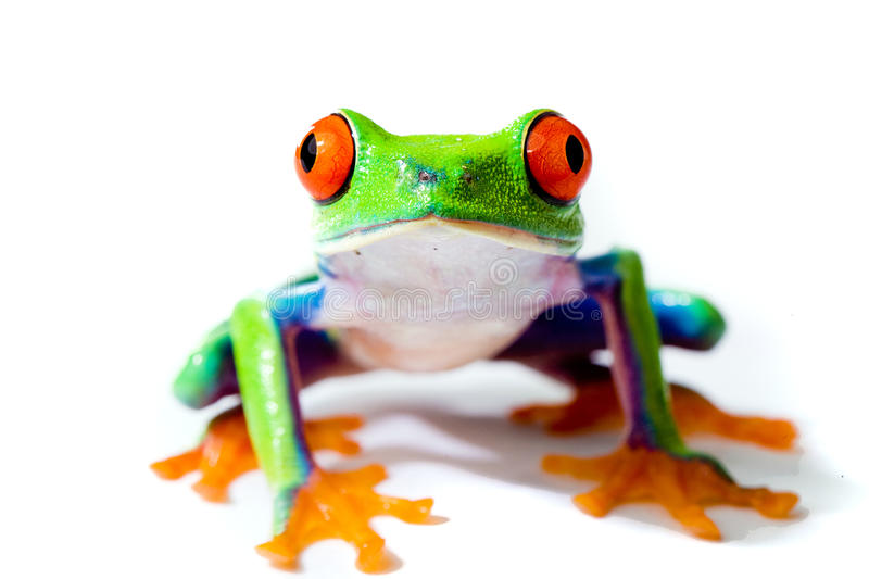 Red eyed tree frog. An alert and colorful red eyed tree frog royalty free stock images