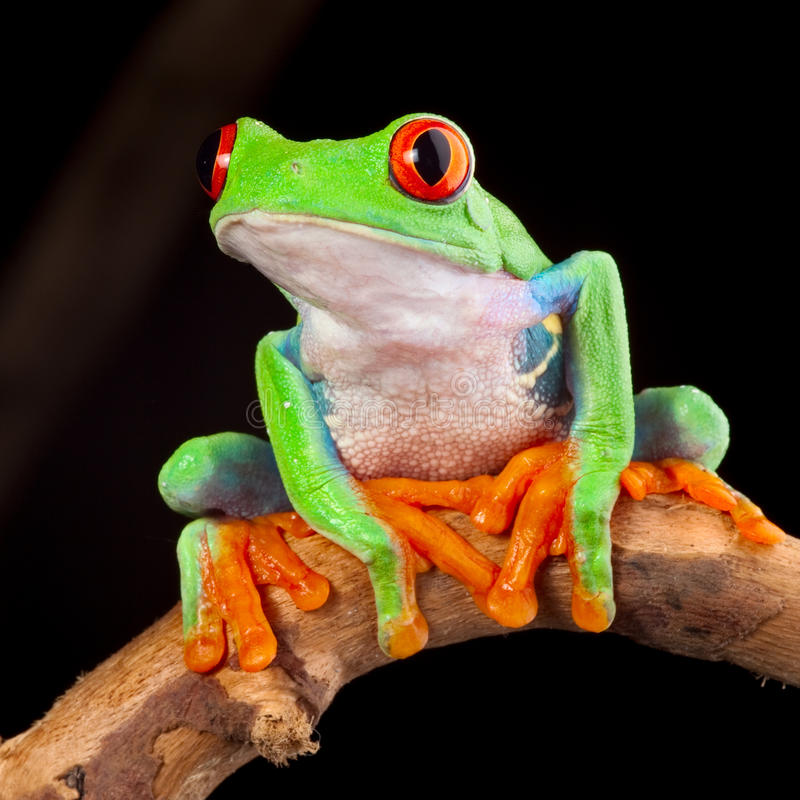 Red eyed tree frog. At night in tropical rainforest treefrog Agalychnis callydrias in jungle Costa Rica bright vivid colors stock images