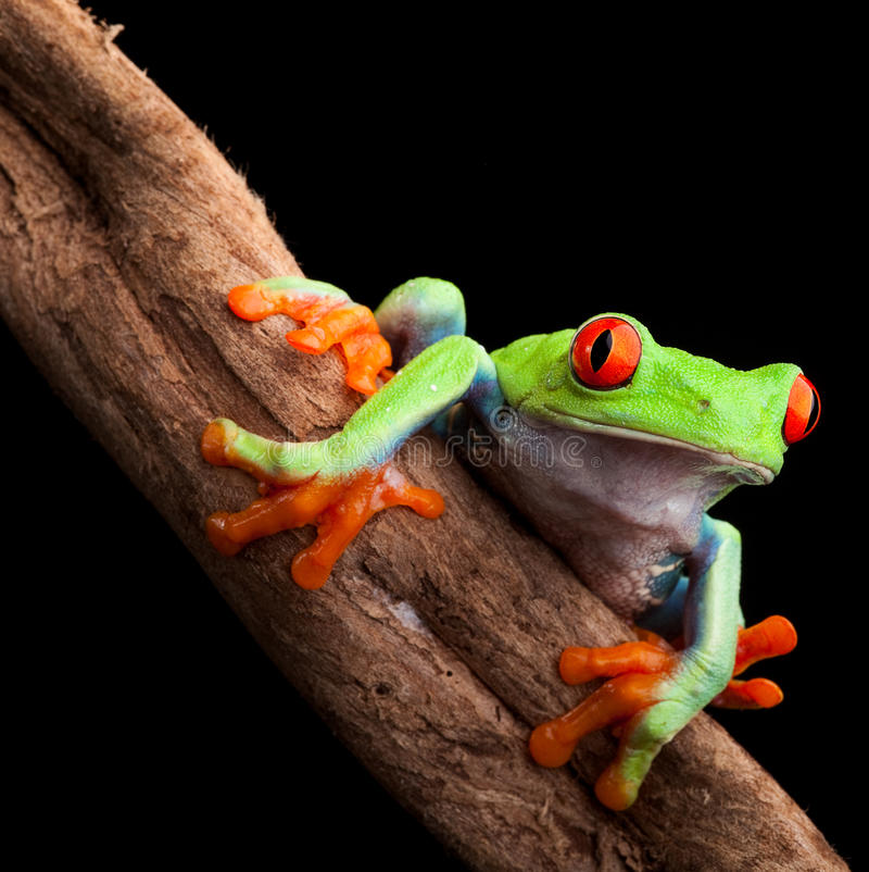 Red eyed tree frog. At night in tropical rainforest treefrog Agalychnis callydrias in jungle Costa Rica bright vivid colors stock photo