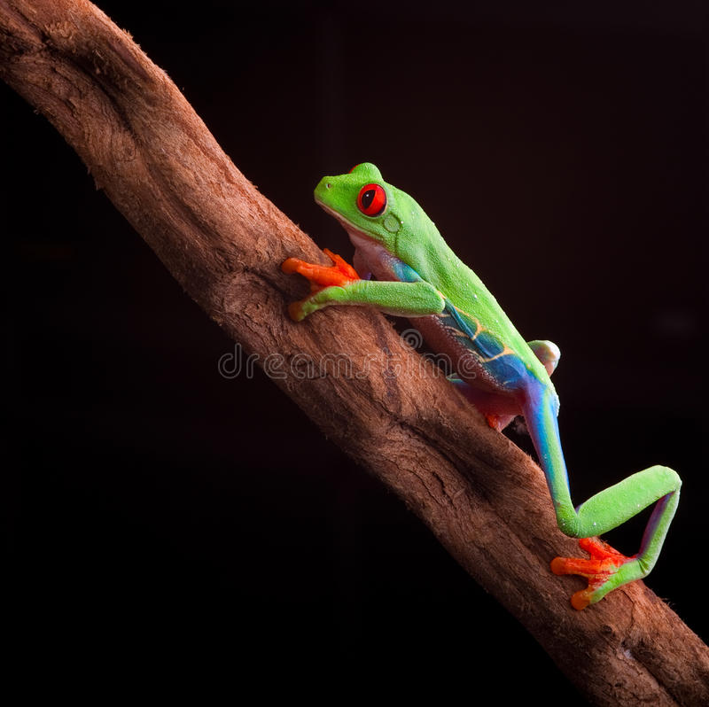 Red eyed tree frog. At night in tropical rainforest treefrog Agalychnis callydrias in jungle Costa Rica bright vivid colors climbing animal stock photos