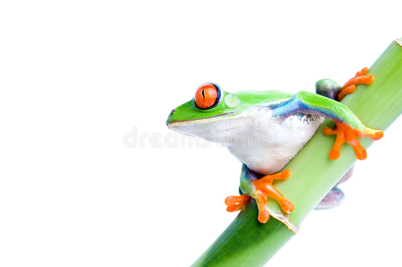 Red-eyed tree frog. Red eyed tree frog (Agalychnis callidryas) on green bamboo, macro isolated on white royalty free stock image
