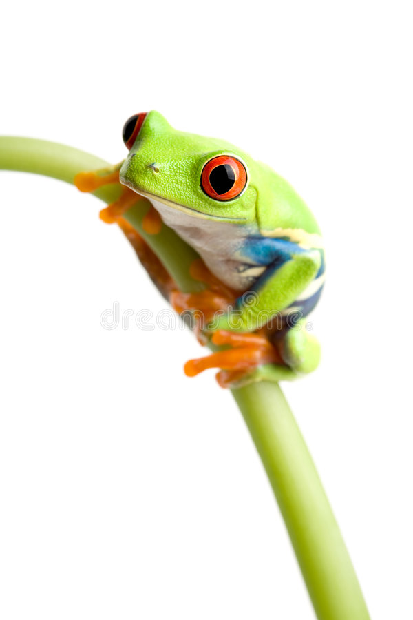 Red-eyed tree frog. (Agalychnis callidryas) on stem of plant, closeup isolated on white with focus on eye stock photography