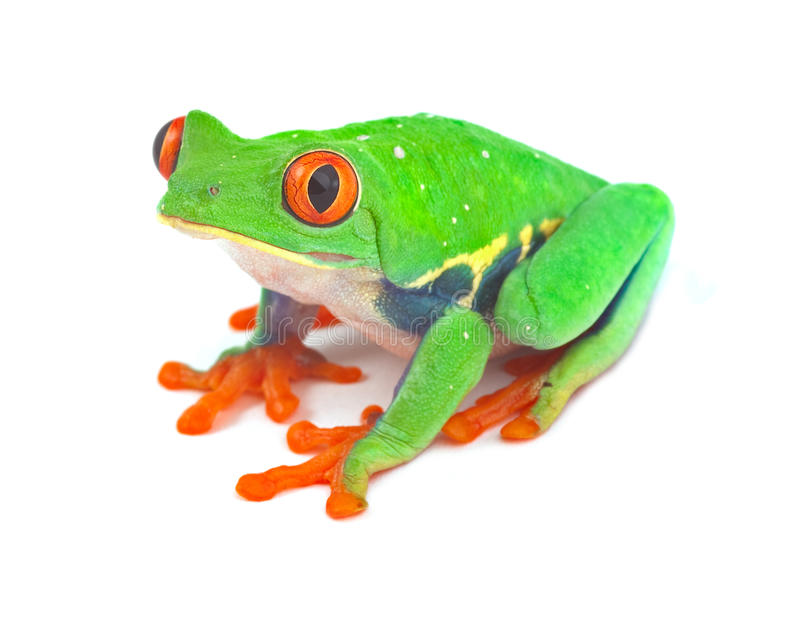 Red eyed tree frog. Red eyed treefrog macro exotic frog curious animal of rainforest in Costa Rica bright vivid colors royalty free stock image