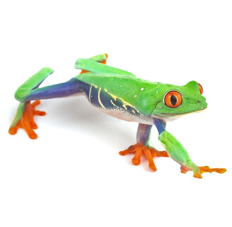 Red eyed tree frog. Macro exotic frog curious animal bright vivid colors treefrog macro isolated exotic frog curious animal bright vivid colors royalty free stock photography
