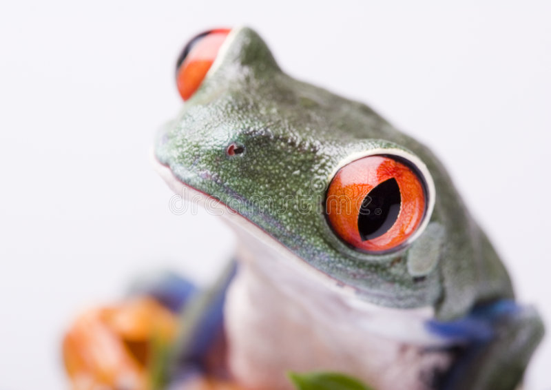 Red eyed tree frog. Frog - small animal with smooth skin and long legs that are used for jumping. Frogs live in or near water. / The Agalychnis callidryas stock photos