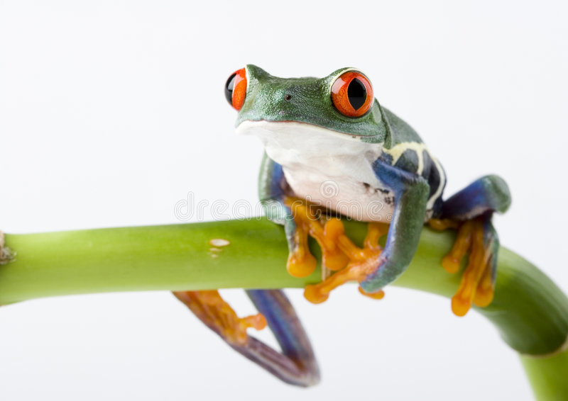 Red eyed tree frog. Frog - small animal with smooth skin and long legs that are used for jumping. Frogs live in or near water. / The Agalychnis callidryas stock images