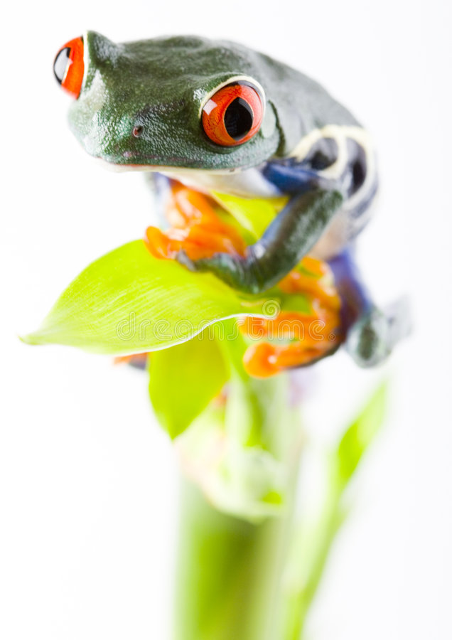 Red eyed tree frog. Frog - small animal with smooth skin and long legs that are used for jumping. Frogs live in or near water. / The Agalychnis callidryas royalty free stock photography