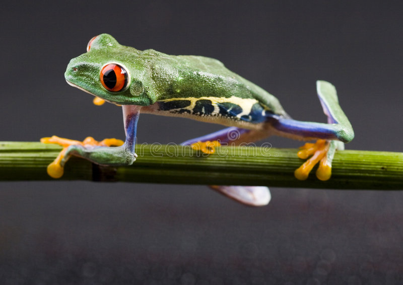 Red eyed tree frog. Frog - small animal with smooth skin and long legs that are used for jumping. Frogs live in or near water. / The Agalychnis callidryas stock photography