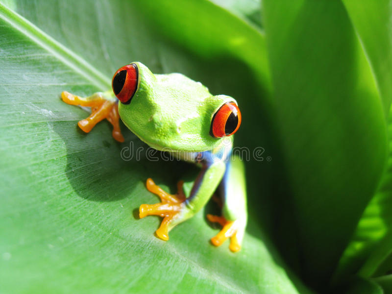Red-eyed tree frog 60. Red-eyed tree frog on a green banana leaf stock photography