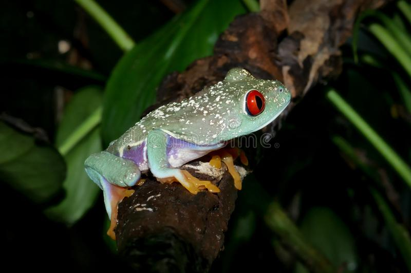 Beautiful red eyed tree frog on branch. Red eyed tree frog, Agalychnis callidrias, on branch royalty free stock photo