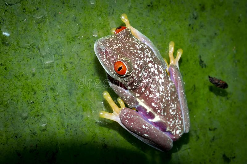 Beautiful red eyed tree frog on branch. Red eyed tree frog, Agalychnis callidrias, on branch stock image