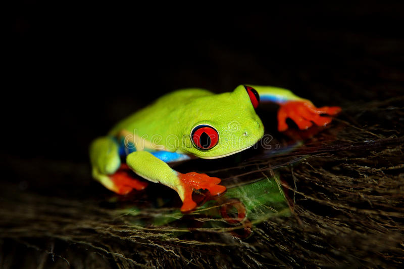 Red eyed tree frog. Agalychnis callidrias a tropical amphibian from the rain forest of Costa Rica and Panama. Beautiful jungle animal stock images
