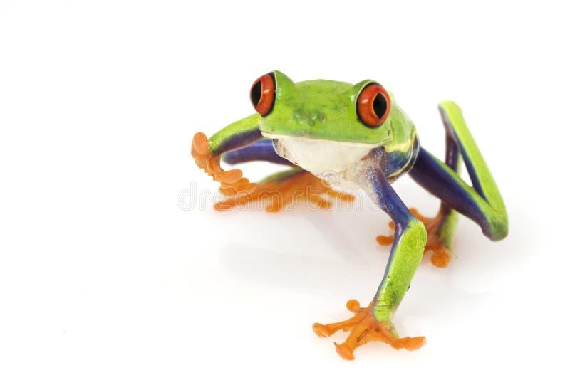 Red-eyed Tree Frog (Agalychnis callidryas). On white background stock photo