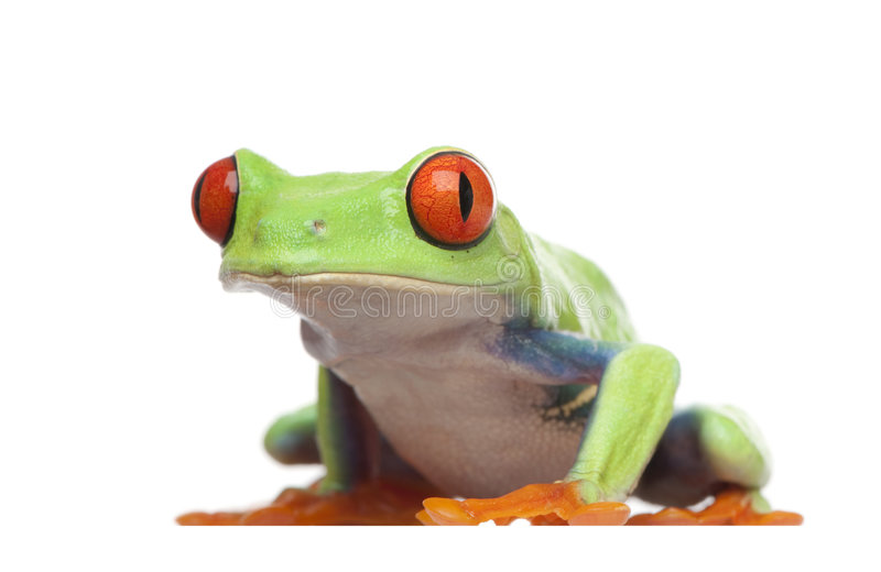 Red-eyed Tree Frog - Agalychnis callidryas royalty free stock photography