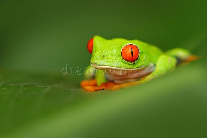 Red-eyed Tree Frog, Agalychnis callidryas, animal with big red eyes, in the nature habitat, Costa Rica. Frog in the nature. Beauti. Red-eyed Tree Frog royalty free stock image