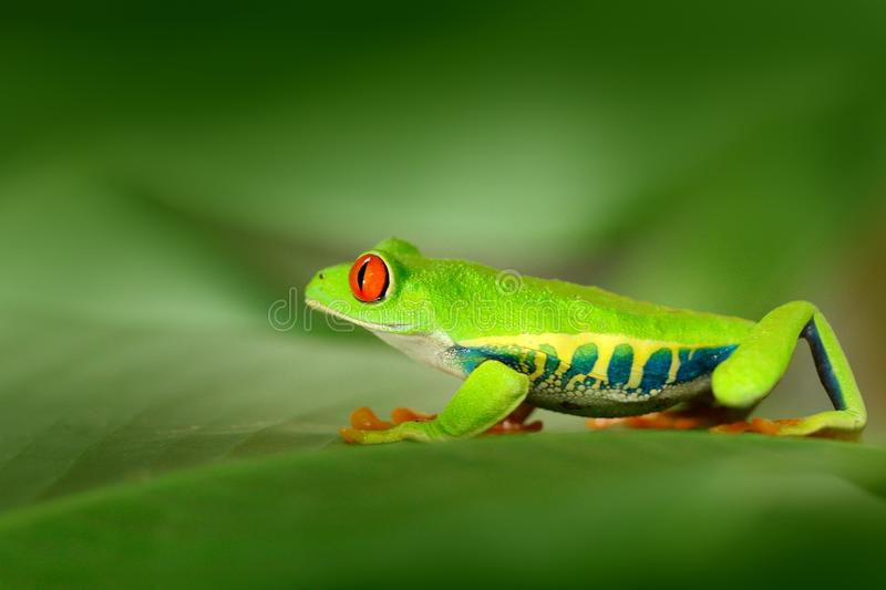 Red-eyed Tree Frog, Agalychnis callidryas, animal with big red eyes, in the nature habitat, Costa Rica. Frog in the nature. Beauti. Full frog stock photography