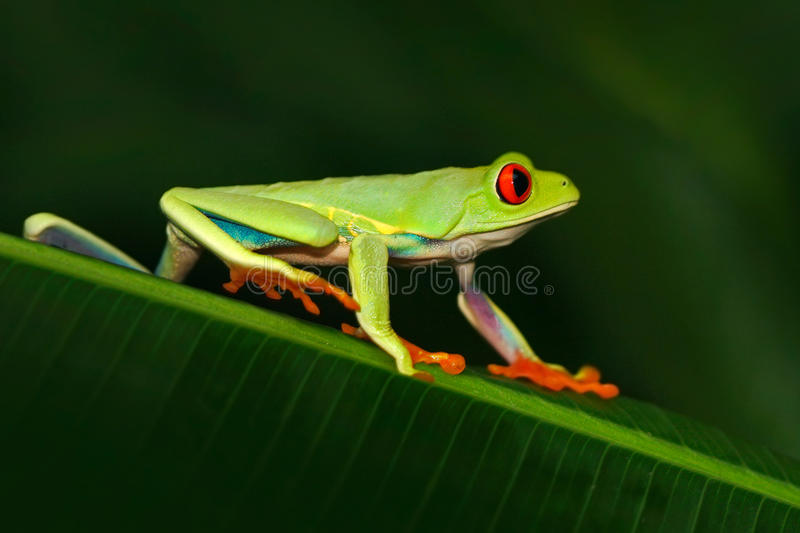 Red-eyed Tree Frog, Agalychnis callidryas, animal with big red eyes, in the nature habitat, Costa Rica. Beautiful exotic animal fr. Red-eyed Tree Frog royalty free stock images