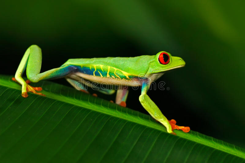 Red-eyed Tree Frog, Agalychnis callidryas, animal with big red eyes, in the nature habitat, Costa Rica. Beautiful exotic animal fr. Og royalty free stock photography