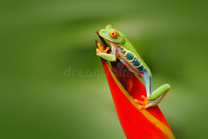 Red-eyed Tree Frog, Agalychnis callidryas, animal with big red eyes, in the nature habitat, Costa Rica. Frog in the nature. Beauti. Red-eyed Tree Frog stock photography