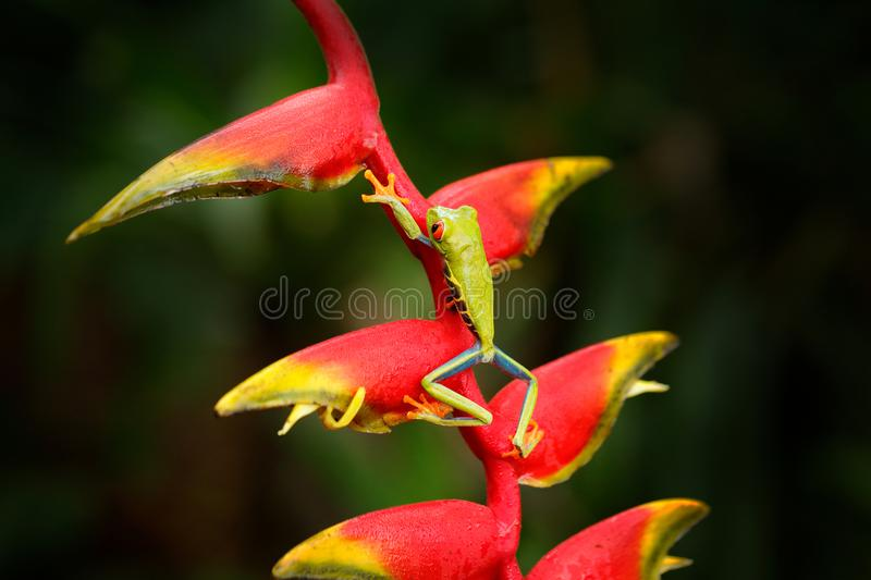 Red-eyed Tree Frog, Agalychnis callidryas, animal with big red eyes, in nature habitat, Costa Rica. Frog from Panama. Beautiful fr. Og forest, exotic animal from royalty free stock photo