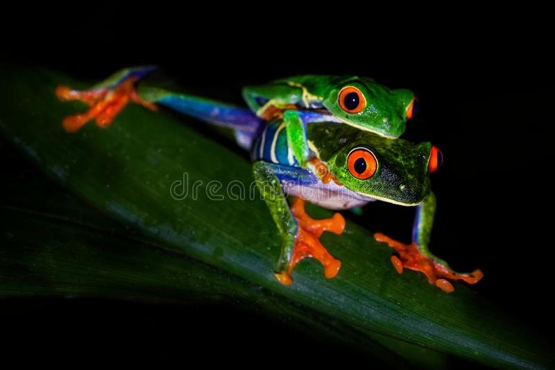 Red-eyed Tree Frog - Agalychnis callidryas arboreal hylid native to Neotropical rainforests from Mexico, Central America to stock photography